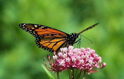 Monarch On Pink Wildflower Art Print