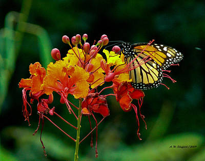 Photograph - Monarch On Pride Of Barbados by Allen Sheffield