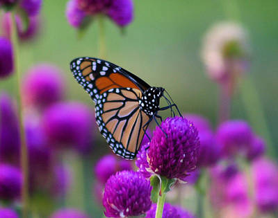 Monarch On Purple Flowers Art Print