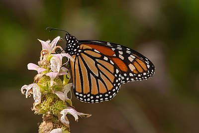 Photograph - Monarch On Spotted Beebalm by Paul Rebmann