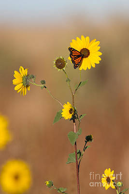 Photograph - Monarch On Sunflower by Martha Marks