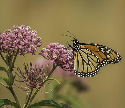 Swamp Milkweed Photograph - Monarch On Swamp Milkweed by Thomas Young