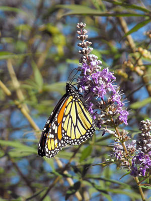 Art Print featuring the photograph Monarch On Vitex by Jayne Wilson