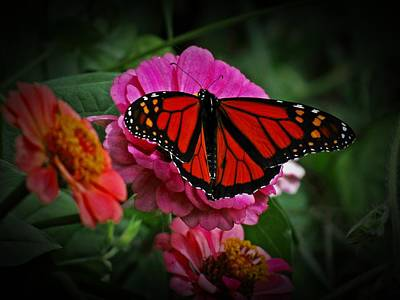 Photograph - Monarch On Zinnia Flowers by MTBobbins Photography