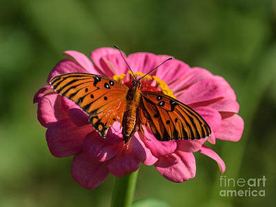 Hotel Photograph - Monarch On Zinnia by Renee Barnes