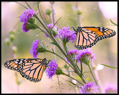 Photograph - Monarch Pair by Heidi Hermes
