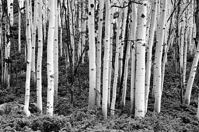 Photograph - Monarch Pass Aspens Black And White by Ken Smith