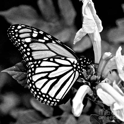 Photograph - Monarch Perching by Diana Black
