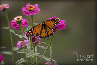 Photograph - Monarch Pit Stop by Cris Hayes