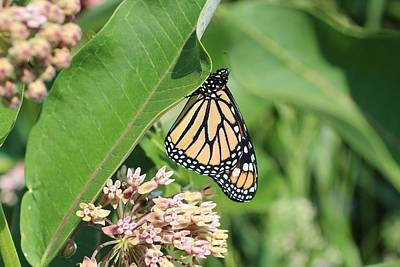 Photograph - Monarch Resting by Lucinda VanVleck