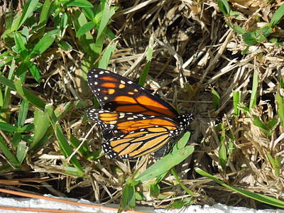 Photograph - Monarch by Ron Davidson