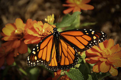 Monarch Spotlight. Art Print