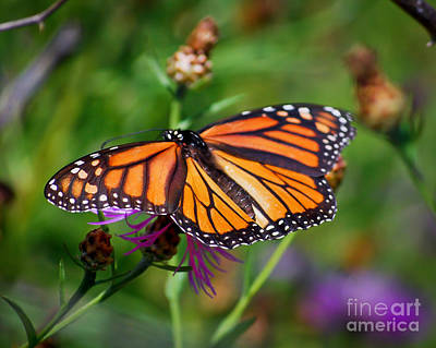 Photograph - Monarch Wings by Kerri Farley