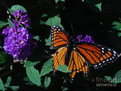 Photograph - Monarch With Purple Flower by Mark McReynolds