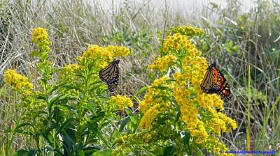 Photograph - Monarchs On The Beach by Nance Larson