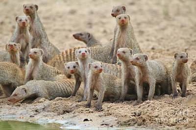 Photograph - Mongoose Clan - Brotherhood Of The Curious by Hermanus A Alberts