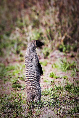 Photograph - Mongoose Standing. Safari In Serengeti by Michal Bednarek