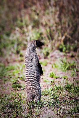 Animals Photograph - Mongoose Standing. Safari In Serengeti by Michal Bednarek