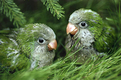 Parakeet Photograph - Monk Parakeet Chicks by Paul J. Fusco