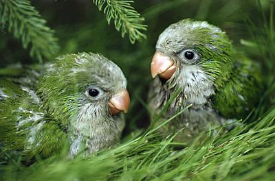 Parakeet Photograph - Monk Parakeet Chicks by Paul J. Fusco