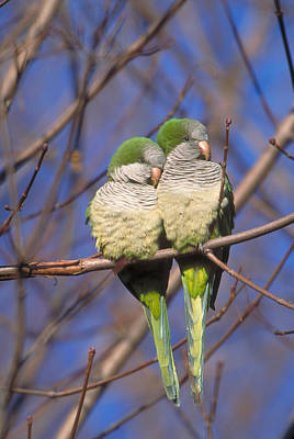 Parakeet Photograph - Monk Parakeets by Paul J. Fusco