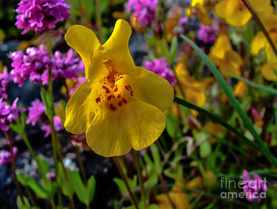Photograph - Monkey Flower by Robert Bales