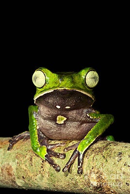 Photograph - Monkey Frog by Dante Fenolio