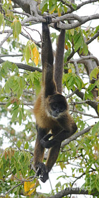 Photograph - spider monkey from Nicaragua 1 by Rudi Prott