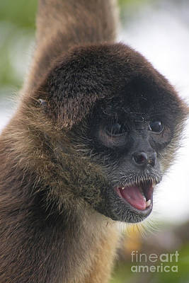 Photograph - spider monkey from Nicaragua 2 by Rudi Prott