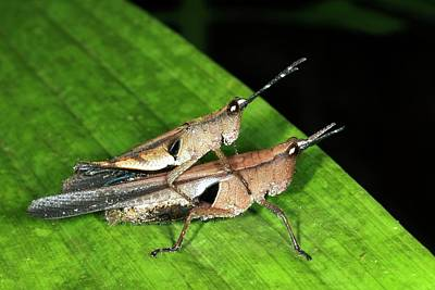 Grasshopper Wall Art - Photograph - Monkey Grasshoppers Mating by Dr Morley Read/science Photo Library
