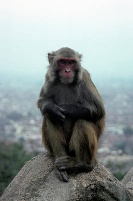 Budhism Photograph - Monkey In Kathmandu, Nepal by Rich Wheater