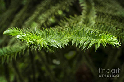 Art Print featuring the photograph Monkey Puzzle by Maria Janicki