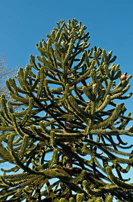 Monkey Puzzle Tree E Art Print by Tikvah's Hope