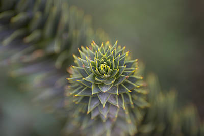 Photograph - Monkey Puzzle Tree Macro by Loree Johnson
