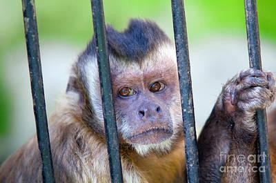 Parents Photograph - Monkey Species Cebus Apella Behind Bars by Michal Bednarek