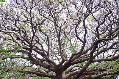 Monkeypod Tree Art Print