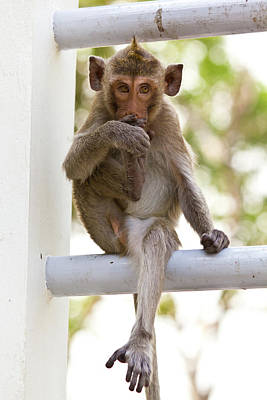 Monkeys Cute Sitting On A Steel Fence Art Print by Tosporn Preede