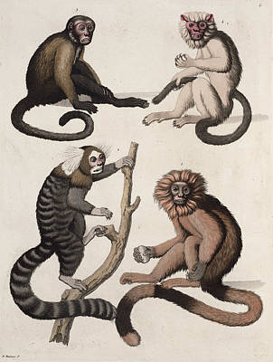 South America Drawing - Monkeys by Vittorio Raineri