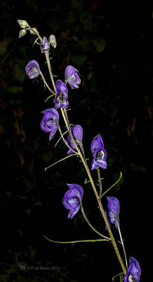 Monkshood Art Print