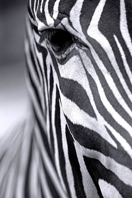 Zebra Photograph - Zebra Head-left by Jaroslav Frank
