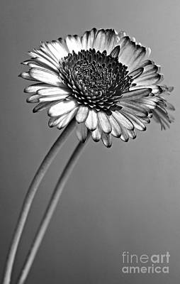 Gerbera Daisy Photograph - Monochrome Gerbera by Clare Bevan