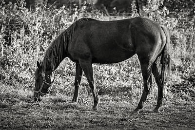 Photograph - Monochrome Grazer by Sennie Pierson
