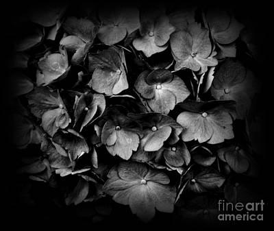 Photograph - Monochrome Hydrangea by Chalet Roome-Rigdon