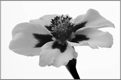 Photograph - Monochrome Marigold. by Terence Davis