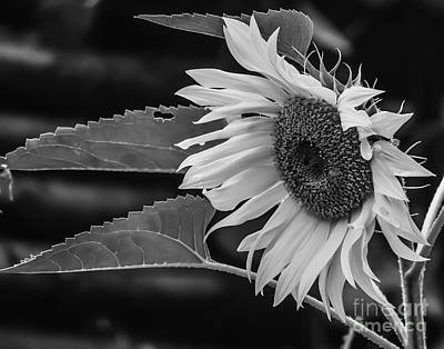 Photograph - Monochrome Sunflower by Michael Canning