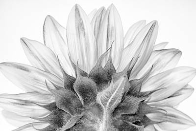 Postcard Photograph - Monochrome Sunflower by Stelios Kleanthous