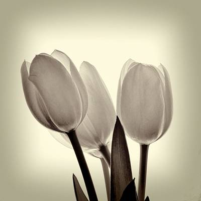 Monochrome Tulips With Vignette Art Print