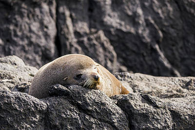 Photograph - Montague Island Seal by Steven Ralser