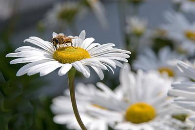 Photograph - Montauk Daisy With Bee  by Bob Mulligan
