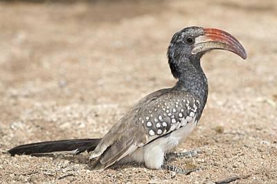 Hornbill Photograph - Monteiro's Hornbill Foragin by Tony Camacho